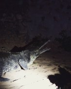 NIght croc walk3f3.jpg
