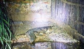 NIght croc walk3f9.jpg